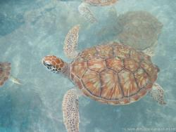 A brownish turtle at the Isla Mujeres turtle farm.jpg