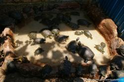 Baby and medium sized turtles at the Isla Mujeres turtle farm.jpg