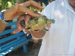 Baby turtle picked up by hand at the Isla Mujeres turtle farm.jpg
