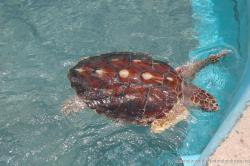 Brown spotted turlte with brown shell at the Isla Mujeres turtle farm.jpg