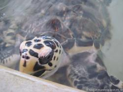 Close up view of a white turtle with black spots at the Isla Mujeres turtle farm.jpg