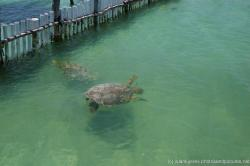 Giant turtles swimming at the Isla Mujeres turtle farm outside pond.jpg