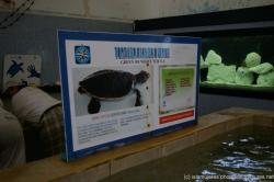 Green or White turtle poster at Isla Mujeres turtle farm.jpg