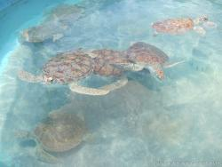 Isla Mujeres turtle farm with active turtles swimming.jpg