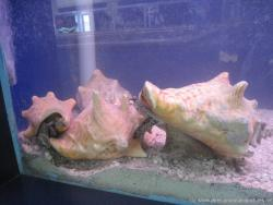 Live conch inside an aquarium at the turtle farm on Isla Mujeres.jpg