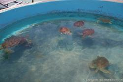 Many swimming turtles at a cylindrical outdoor pond in Isla Mujeres tortuga farm.jpg