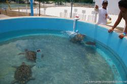 Several turtles at the Isla Mujeres turtle farm outdoor pond.jpg