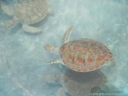 Three swimming brown turtles at Isla Mujeres turtle farm.jpg