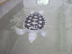 White turlte with white and black shell swimming at the Isla Mujeres turle farm.jpg