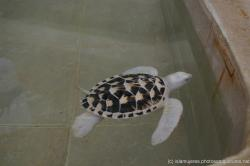 White turtle swimming at a pond at Isla Mujeres turle farm.jpg